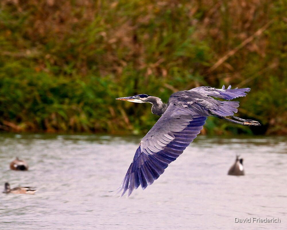 Flight of the Heron by David Friederich