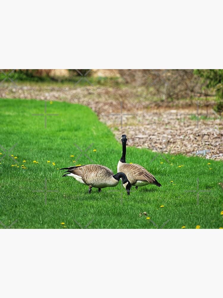 Canada Geese by debfaraday