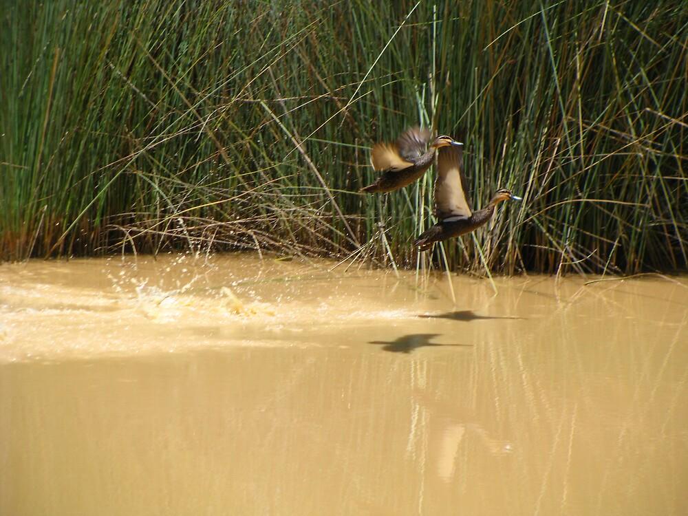 More Ducks by Glenn Browning