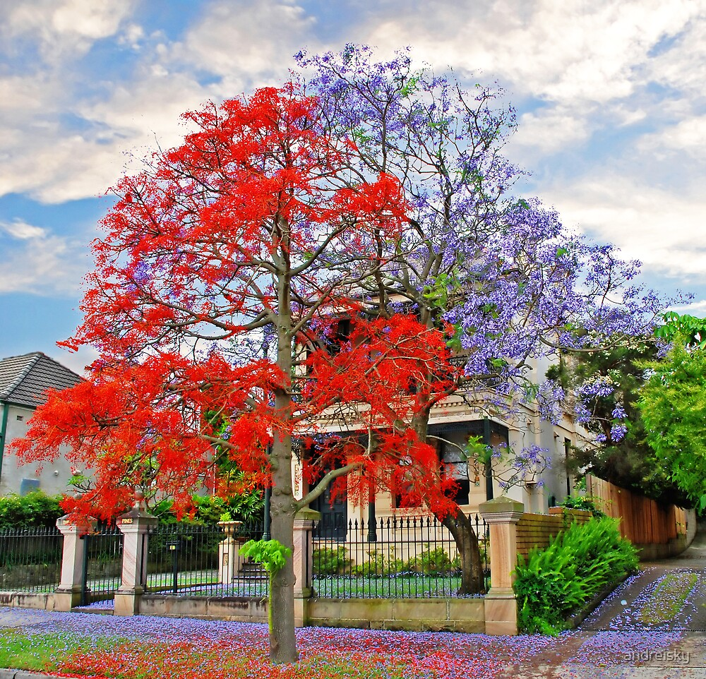 Quot Illawarra Flame Tree Amp Jacaranda Quot By Andreisky Redbubble