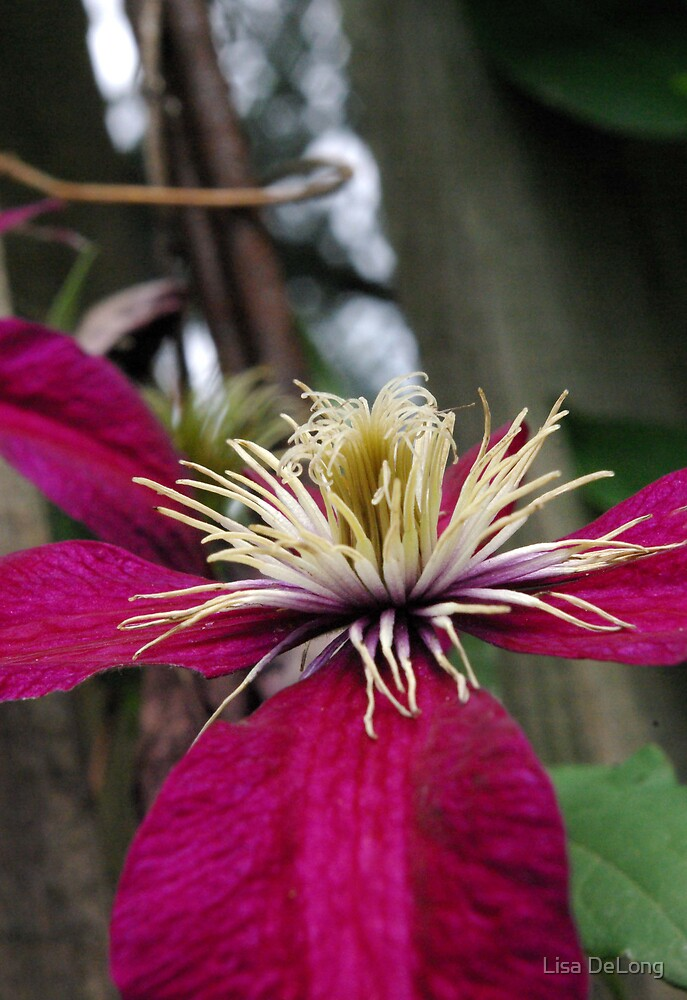 Clematis by Lisa DeLong