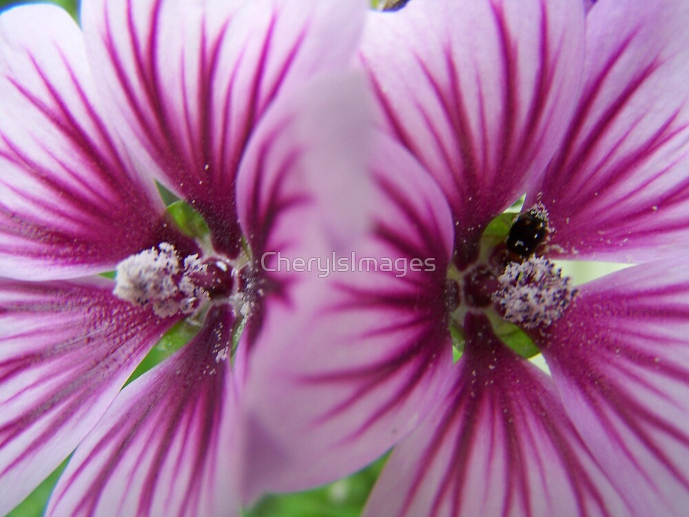 Two Malva Flowers-Macro by CherylsImages