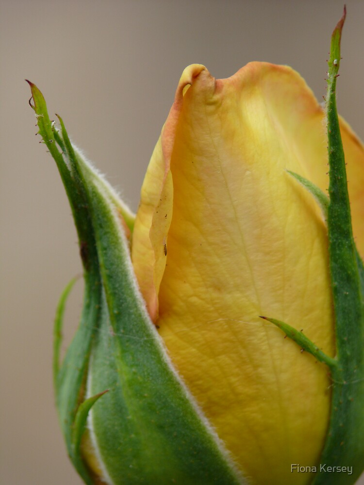 bud of perfection by Fiona Kersey
