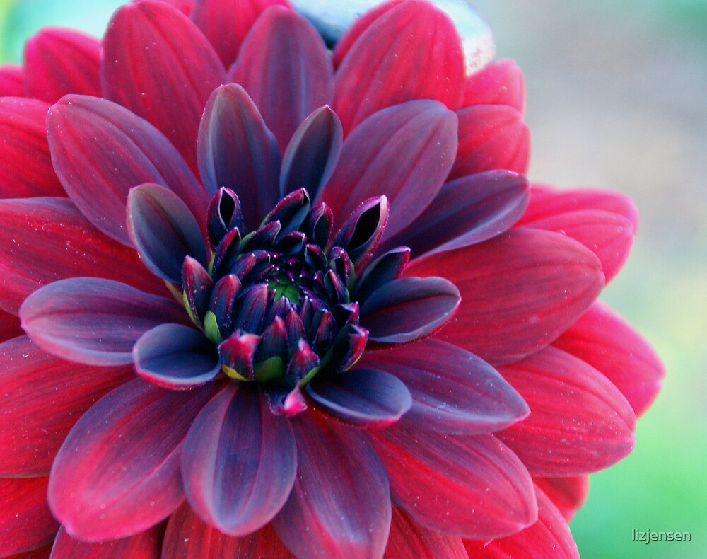 Full Bloom by lizjensen