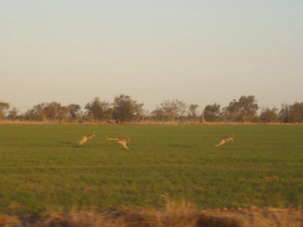 Kangeroos in the wheat by KatieLee648