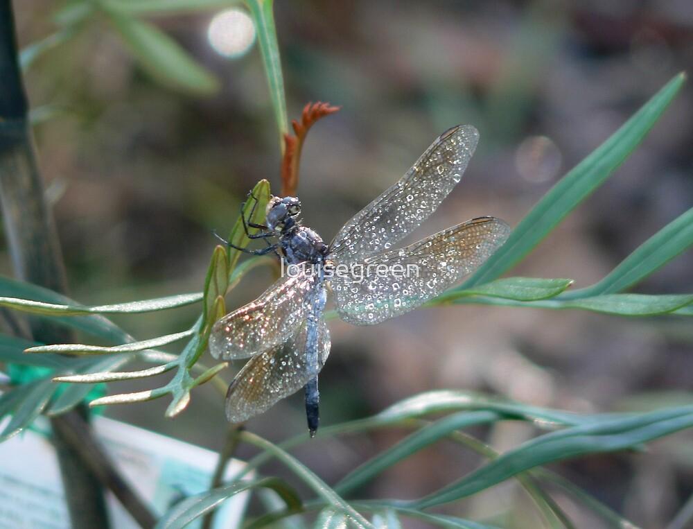 Blue Skimmer on Grevillia by louisegreen