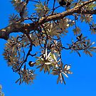 blue skies and banksia by jayview