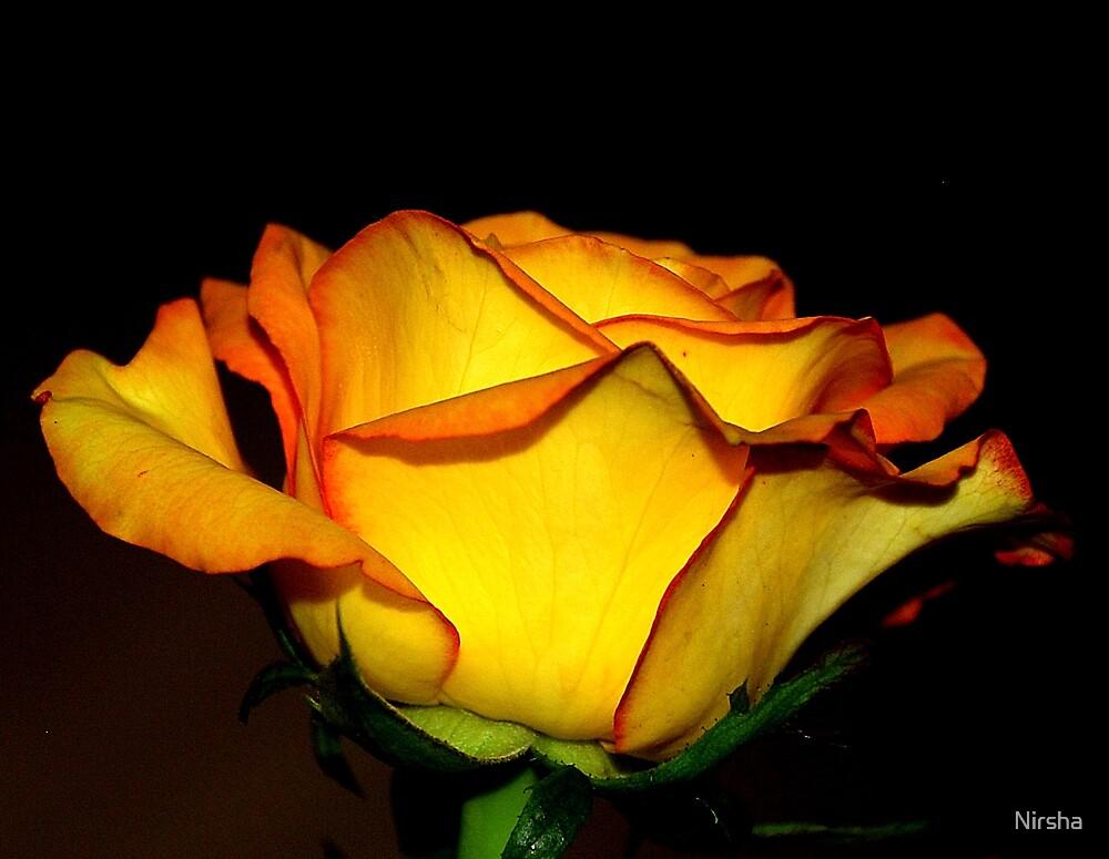 yellow orange rose by Nirsha