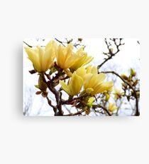 Yellow Magnolia Tree Blossoms Canvas Print