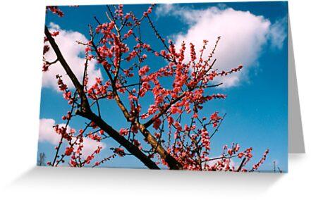 Cherry Tree by Tomoe Nakamura