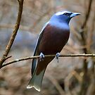 White browed woodswallow by Doug Cliff