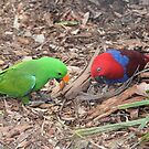 Eclectus parrot by Doug Cliff