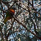 Parrot Leith Park Victoria 20170831 1217  by Fred Mitchell