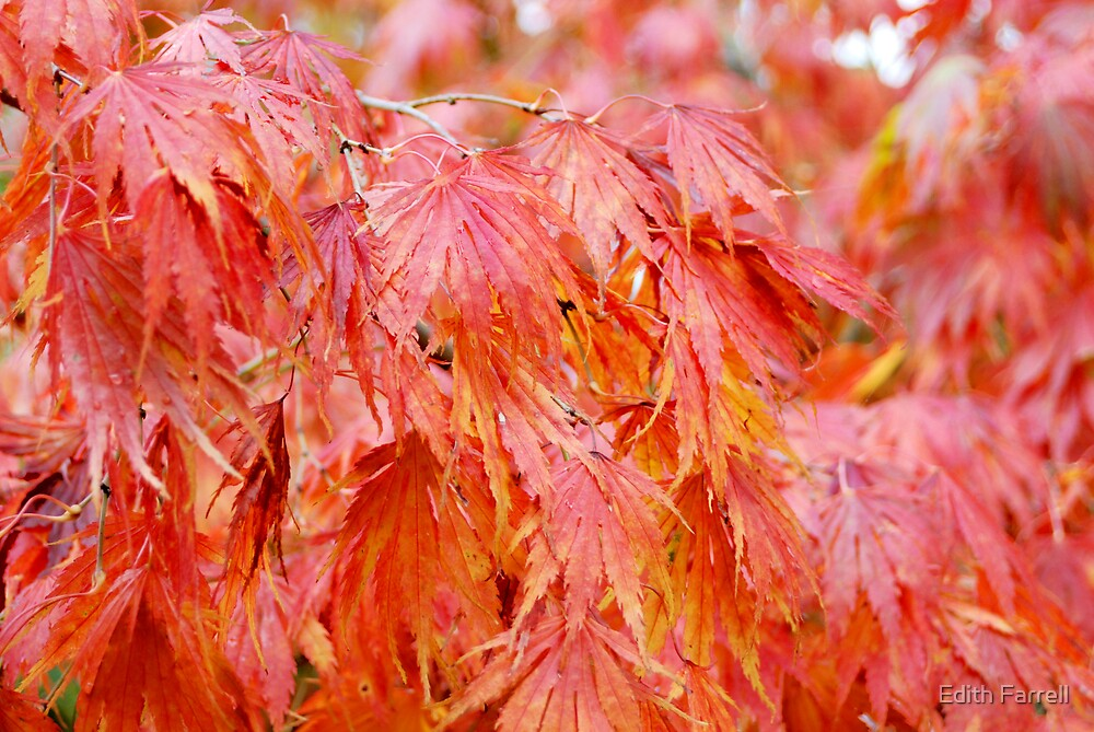 Red Maple In Fall by Edith Farrell