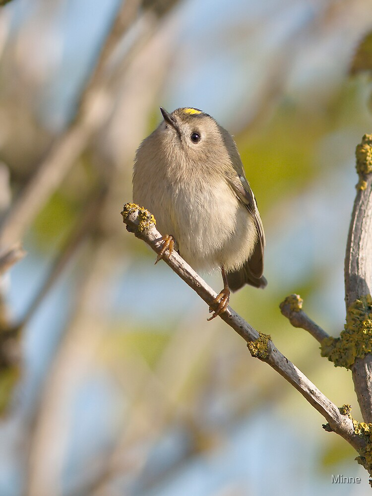 Gold Crest by Minne