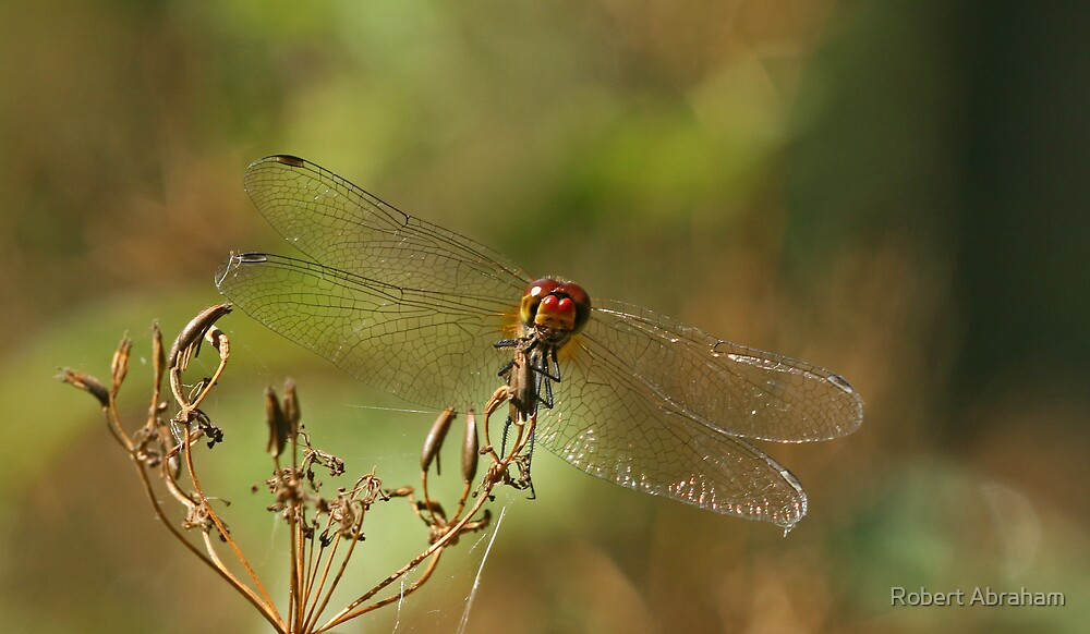 Ruddy Darter Dragonfly by Robert Abraham