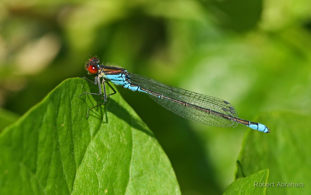 Small Red-Eyed Damselfly by Robert Abraham