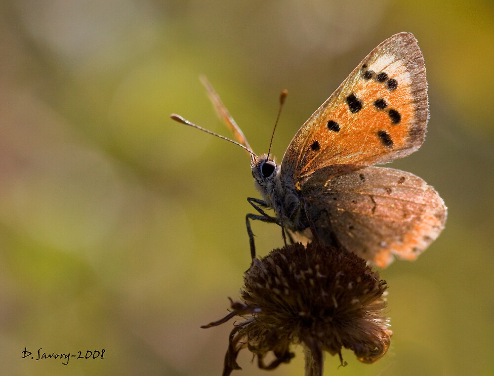 Small copper butterfly by Slinky2012