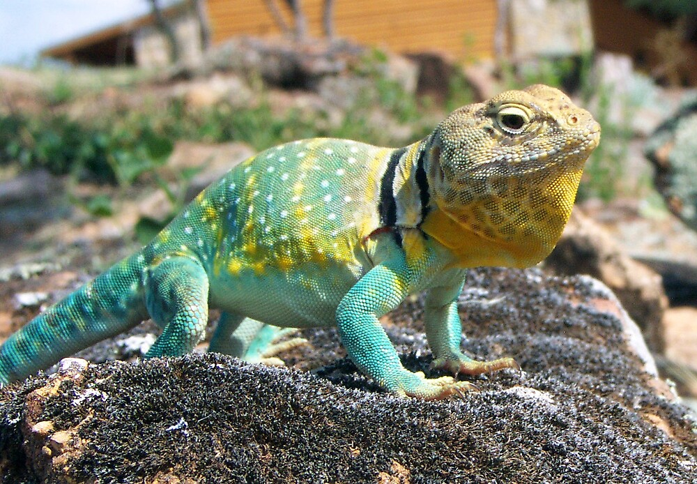 Color Lizard by tracer