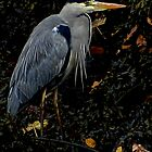 COLOURS OF THE GREY HERON by NICK COBURN PHILLIPS