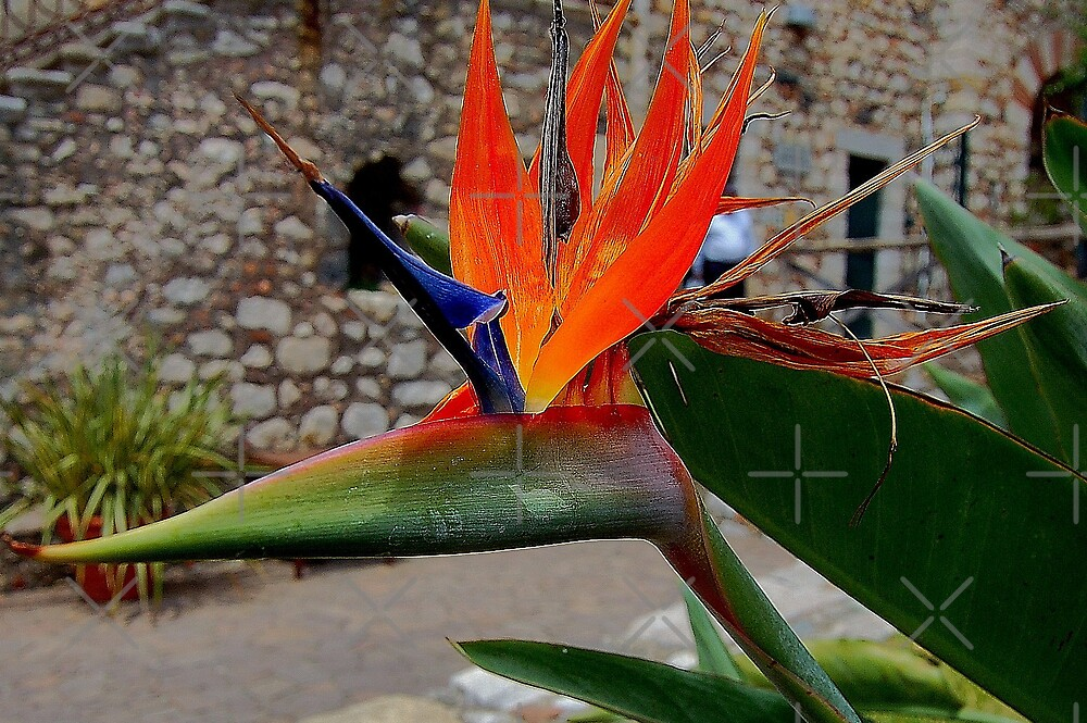 Most colorful Bird of Paradise flower by loiteke