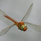 Norfolk Hawker Dragonfly by Robert Abraham