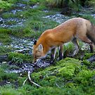 Red fox (Vulpes vulpes) drinking water in the Algonquin Park forest in Canada by Jim Cumming
