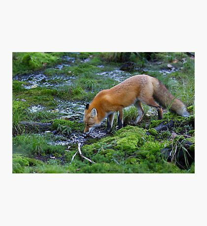 Red fox (Vulpes vulpes) drinking water in the Algonquin Park forest in Canada Photographic Print
