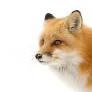 Red fox (Vulpes vulpes) closeup in winter snow in Algonquin Park by Jim Cumming