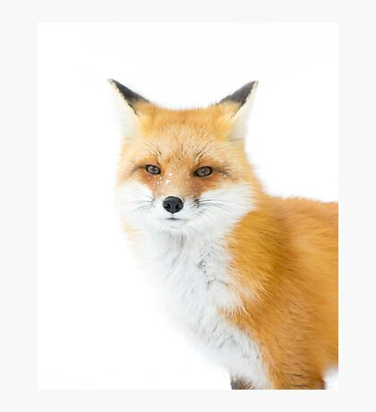 Red fox in Algonquin Park in Canada Photographic Print