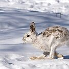 Snowshoe hare (Lepus americanus) running in the winter snow by Jim Cumming