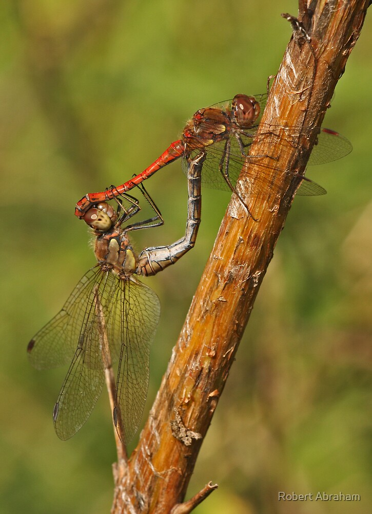 Common Darter Dragonfly by Robert Abraham