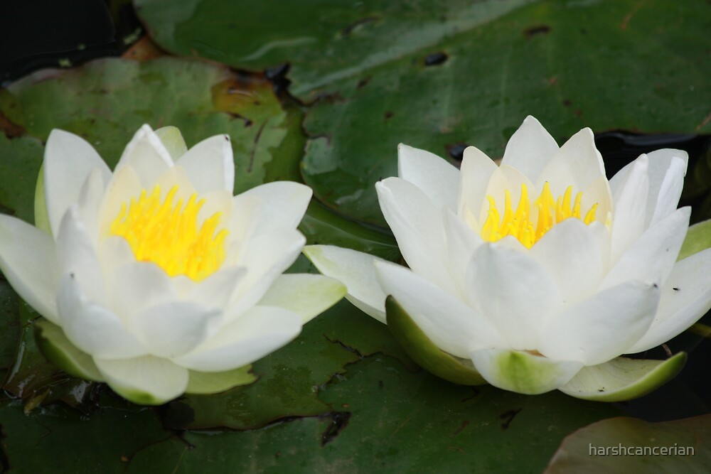 Lotus by harshcancerian