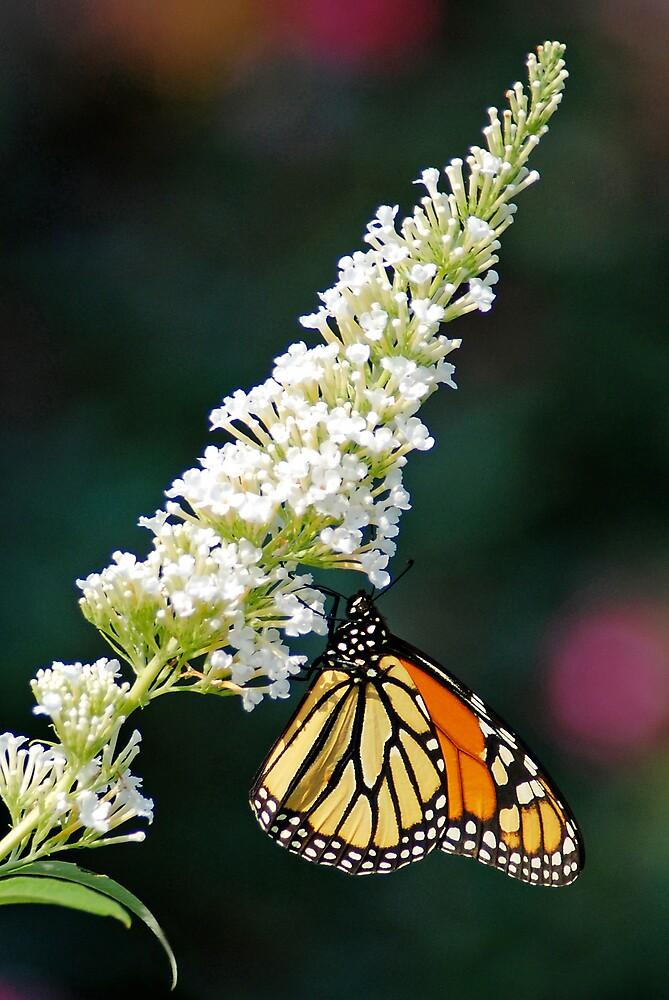 monarch II by mc27