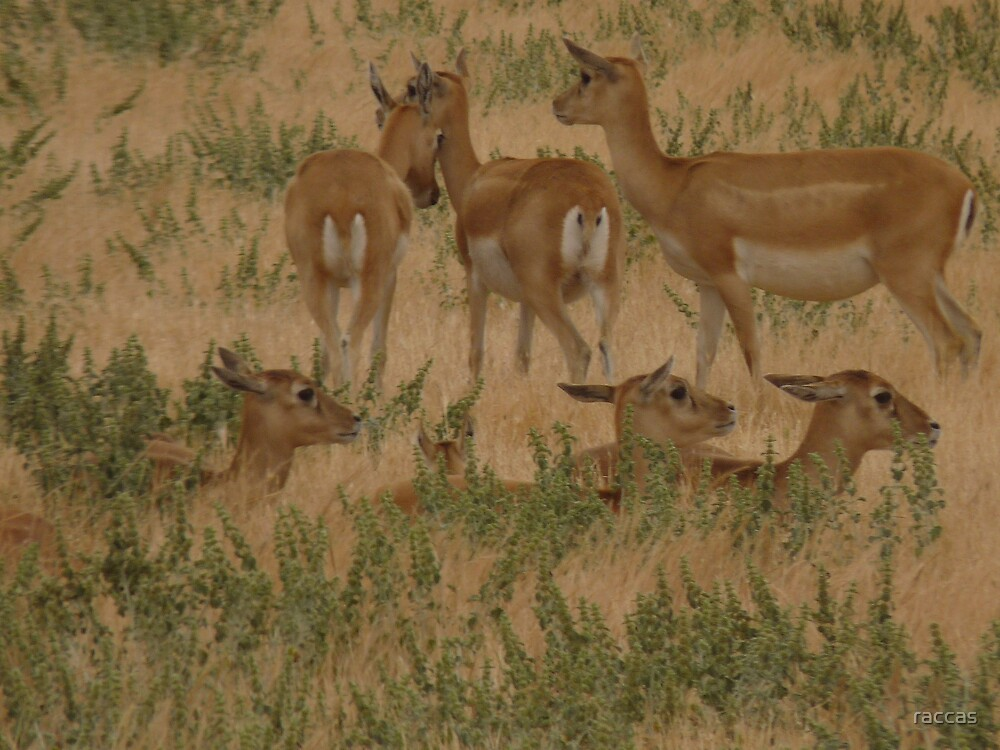 """""""A pattern of Black Buck Does"""" by raccas"""