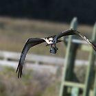 Osprey Bringing Me Fish by TJ Baccari Photography
