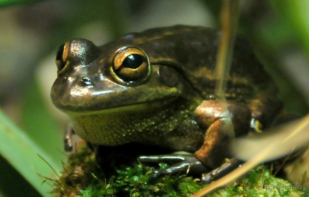 Frog by Tom Newman
