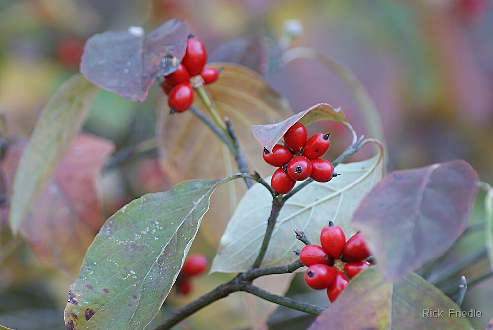 Tree Berries by Rick  Friedle