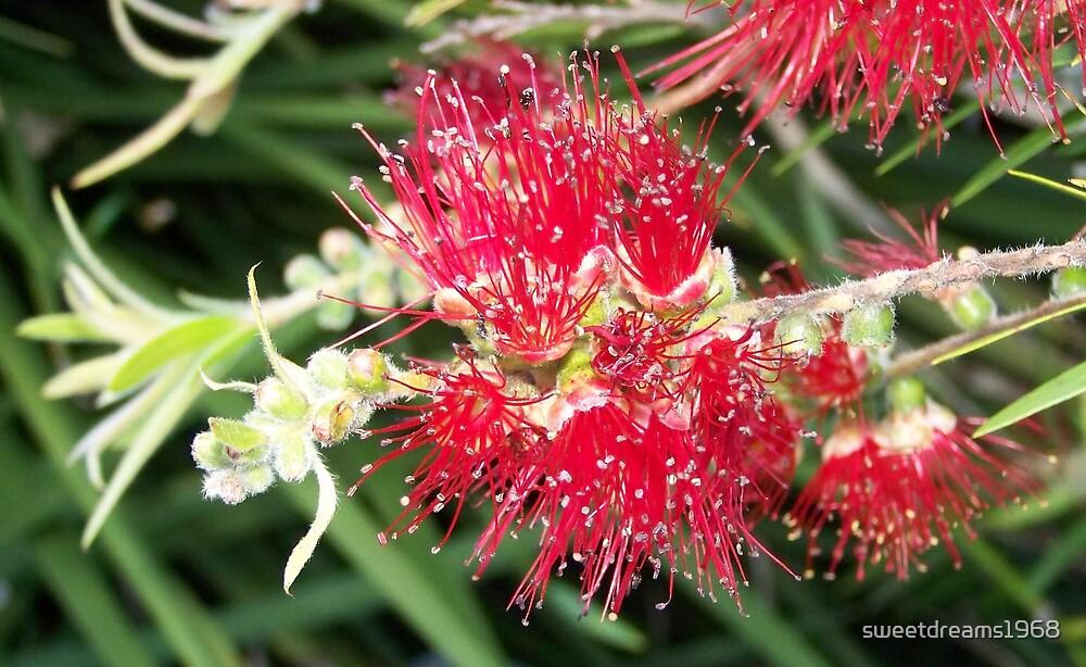 Wild Aussie by Carol Field