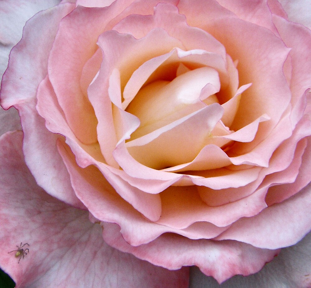 A rose is a rose... by Maria Marsico