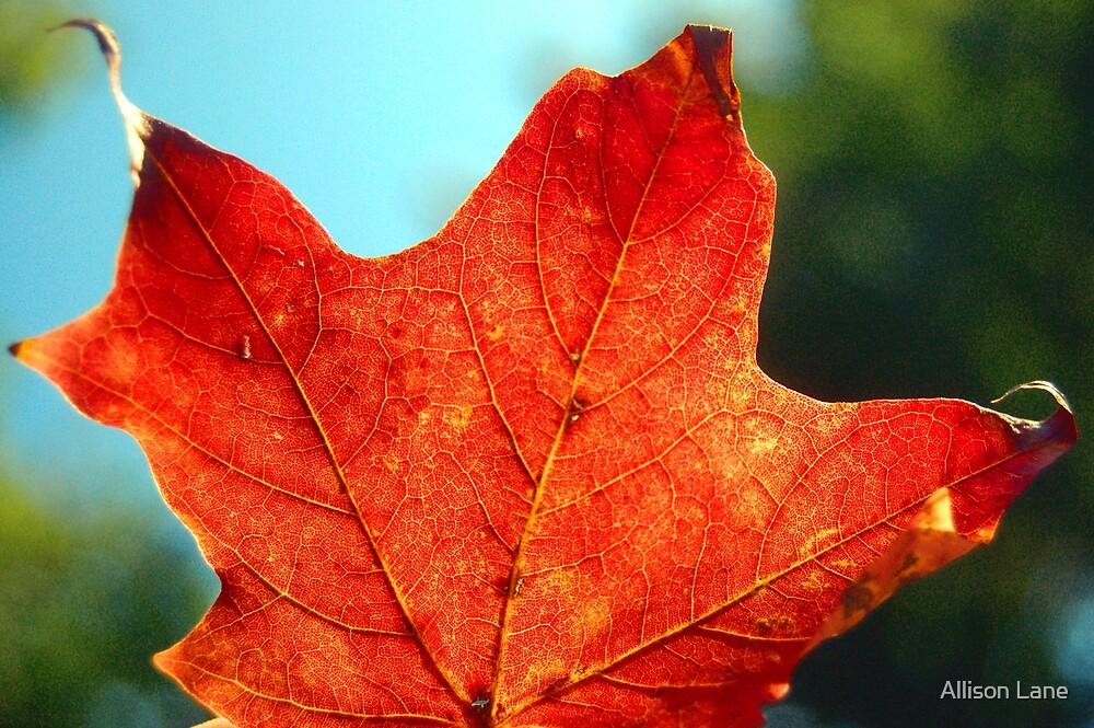 Fall Maple by Allison Lane