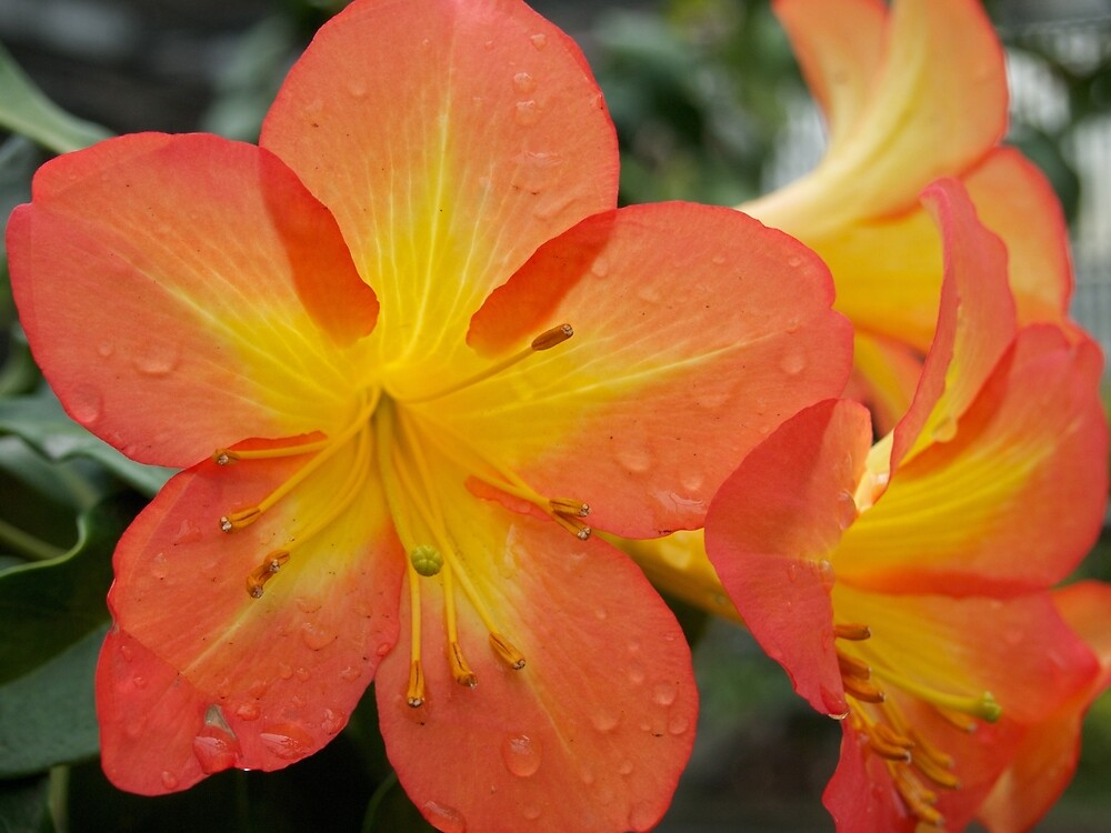 Rhododendron Splendor with Raindrops from A Gardener's Notebook by Douglas E.  Welch