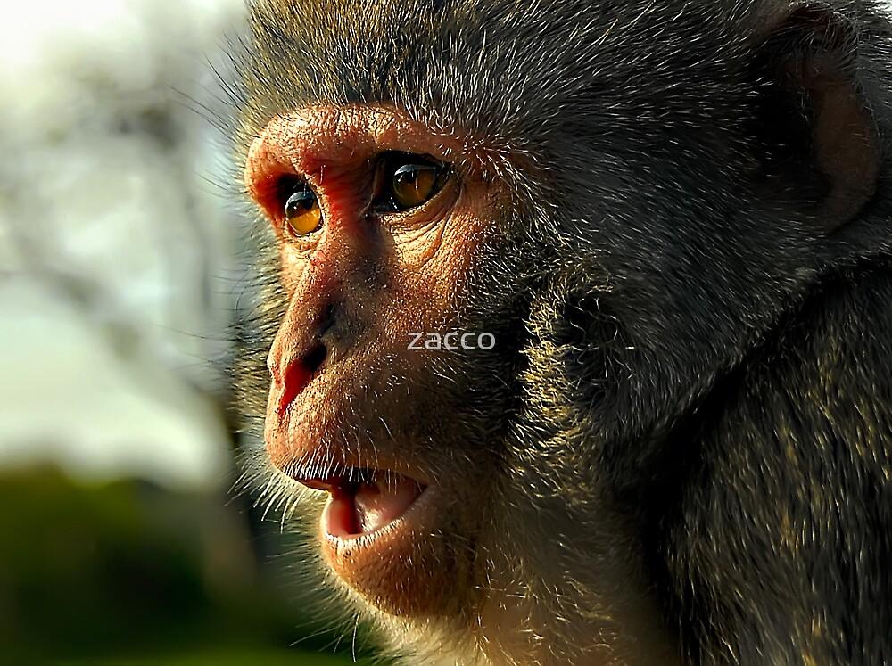 monkey mayhem at longleat zoo  by zacco