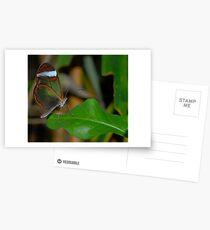 glasswing butterfly  Postcards
