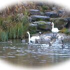 Swans and Ducks.....Cricket St Thomas.Somerset. UK by lynn carter