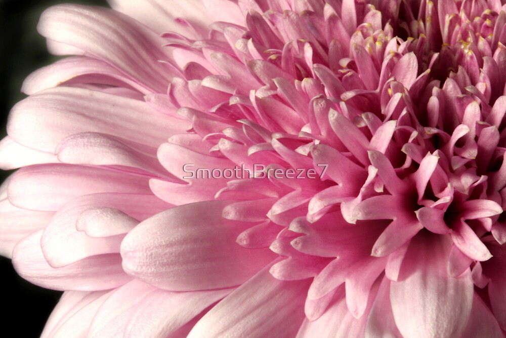 Pink Chrysanthme by SmoothBreeze7