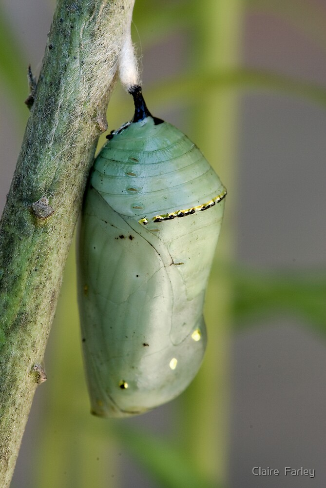 Butterfly Chrysalis by Claire  Farley