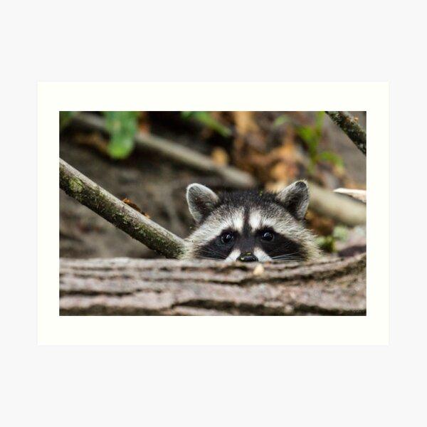 Peering Raccoon Art Print