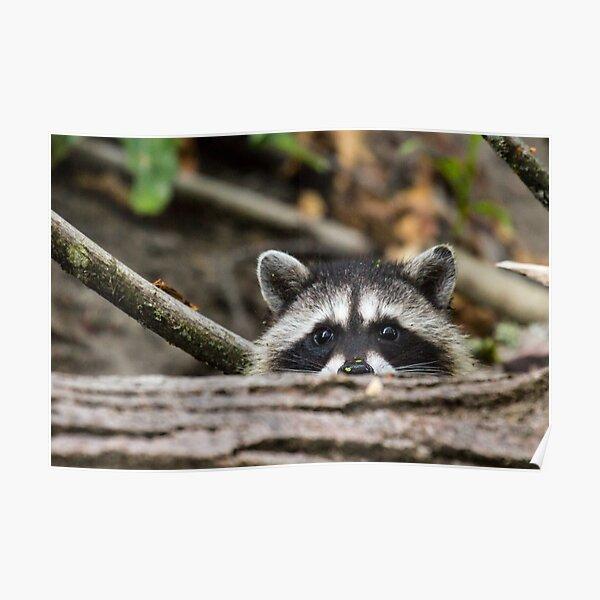 Peering Raccoon Poster