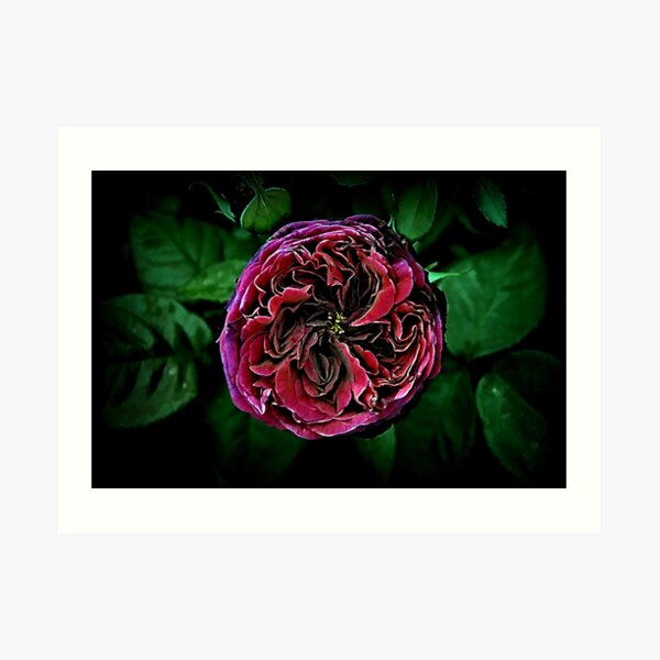 Scent of a Rose Art Print